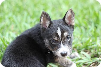 German Shepherd Dog Mix Puppy for adoption in Davie, Florida - Koda