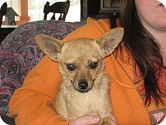 Pomeranian/Chihuahua Mix Dog for adoption in Salem, New Hampshire - The Fabulous Miss Ashleigh