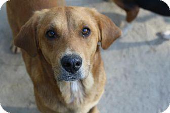 Labrador Retriever/Hound (Unknown Type) Mix Dog for adoption in Worcester, Massachusetts - Jules