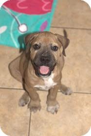 Boxer Mix Puppy for adoption in Davie, Florida - Frankie