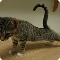 Adopt A Pet :: Cappaccino - Milwaukee, WI