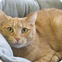 Adopt A Pet :: Mingo - Merrifield, VA