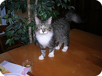 Maine Coon Cat for adoption in Union, South Carolina - Kaboodle