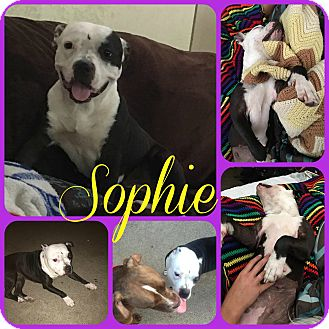 Pit Bull Terrier Mix Dog for adoption in Ft Worth, Texas - Sophie