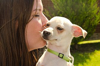 Chihuahua/Terrier (Unknown Type, Small) Mix Dog for adoption in Dallas, Texas - Tanner