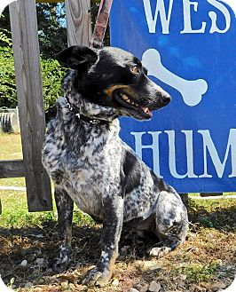 Blue Heeler/Cattle Dog Mix Dog for adoption in St. Francisville, Louisiana - Chiquita