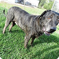 Labrador Retriever Mix Dog for adoption in Van Wert, Ohio - Cassie