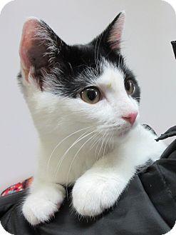Domestic Shorthair Cat for adoption in Glenwood, Minnesota - Dora