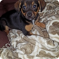 Adopt A Pet :: Ollie - Cleveland, OH