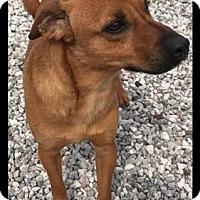 Adopt A Pet :: Joshua - Batesville, AR