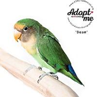 Adopt A Pet :: Bean - Stratford, CT