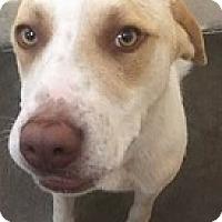 Adopt A Pet :: Cowboy - Springdale, AR
