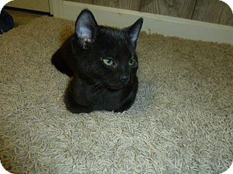 Domestic Shorthair Kitten for adoption in Fairborn, Ohio - Brock-Springfield Litter