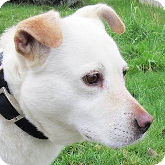 Labrador Retriever/Australian Cattle Dog Mix Dog for adoption in Seattle, Washington - Vanilla Bean - lovely Lab mix