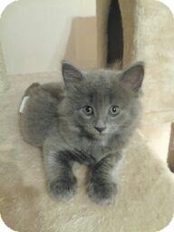 Domestic Shorthair Kitten for adoption in Horsham, Pennsylvania - Candy