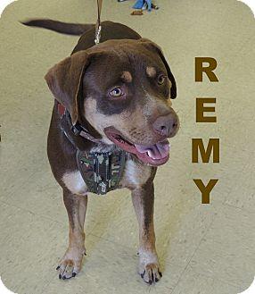 Retriever (Unknown Type)/Hound (Unknown Type) Mix Dog for adoption in Houston, Texas - Remy