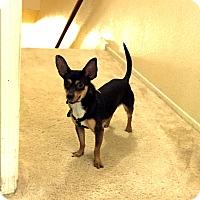 Adopt A Pet :: Ollie - Houston, TX