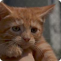 Adopt A Pet :: Cheddar - Brooklyn, NY