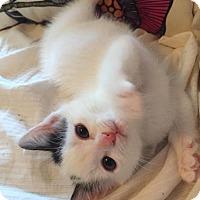 Adopt A Pet :: Stella - Reston, VA