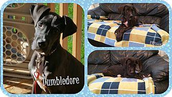 Great Dane Puppy for adoption in DOVER, Ohio - Dumbledore