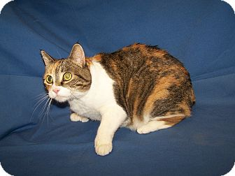 Manx Kitten for adoption in Colorado Springs, Colorado - K-Shirley7-Vicky