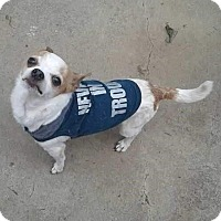 Adopt A Pet :: Chiquito - Courtesy - Redondo Beach, CA
