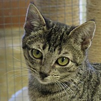 Domestic Shorthair Cat for adoption in Gonzales, Texas - Brisa