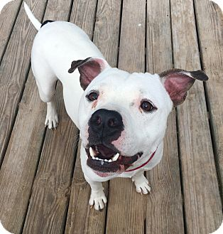 American Bulldog Mix Dog for adoption in Boston, Massachusetts - Franklin