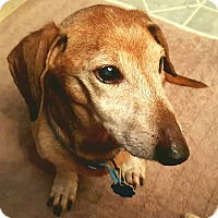 Adopt A Pet :: Red Baron - Andalusia, PA