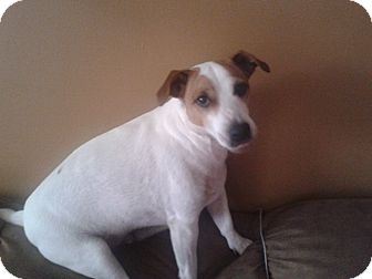 Jack Russell Terrier/Jack Russell Terrier Mix Dog for adoption in Huntsville, Ontario - Jitters - Loyal and Loving!
