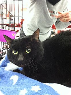 Domestic Shorthair Cat for adoption in Sterling Hgts, Michigan - KiKi (4 paw declaw)