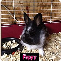 Adopt A Pet :: Peppy - Lower Burrell, PA