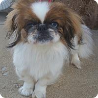 Adopt A Pet :: Honey-Adoption pending - Bridgeton, MO