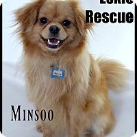 Adopt A Pet :: Minsoo - Elmhurst, IL