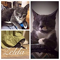 Russian Blue Cat for adoption in Garner, North Carolina - Zelda