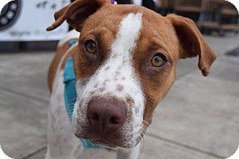 Coonhound Mix Puppy for adoption in Aubrey, Texas - Kate