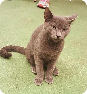 Russian Blue Cat for adoption in Smyrna, Georgia - Cole