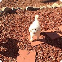 Adopt A Pet :: Elgie Franze a French Poodle - Corona, CA