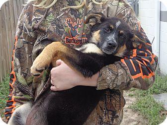 German Shepherd Dog/Australian Cattle Dog Mix Puppy for adoption in Crawfordville, Florida - Becca