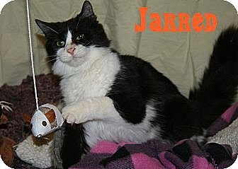 Domestic Shorthair Cat for adoption in East Stroudsburg, Pennsylvania - Jared