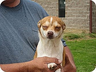 Chihuahua Dog for adoption in Salem, New Hampshire - Peppers