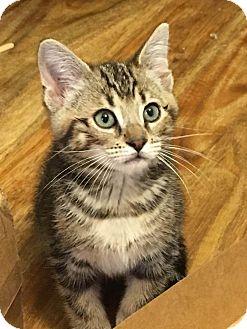 Domestic Shorthair Kitten for adoption in Homewood, Alabama - Fenway