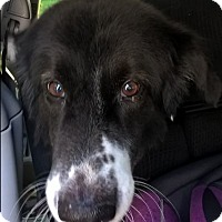 "Adopt A Pet :: Big Dog""I'm ADOPTED"" - Minerva, OH"