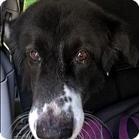 "Border Collie Dog for adoption in Minerva, Ohio - Big Dog""I'm ADOPTED"""