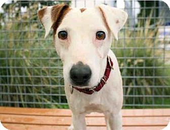 Jack Russell Terrier Dog for adoption in San Antonio, Texas - Bernie in Seguin