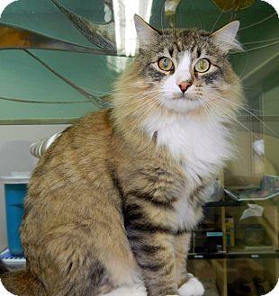 Domestic Longhair Cat for adoption in Creston, British Columbia - Mel