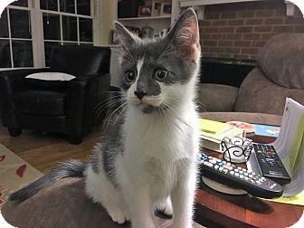 Domestic Shorthair Kitten for adoption in Richmond, Virginia - Panik