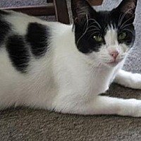 Domestic Shorthair Cat for adoption in Chattanooga, Tennessee - *Josie