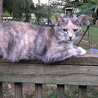 American Shorthair Cat for adoption in Rougemont, North Carolina - Lady
