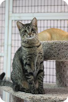 Domestic Shorthair Cat for adoption in Covington, Louisiana - Cindy